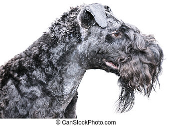 Kerry blue terrier over white - Kerry blue terrier dog...