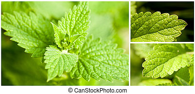 Mint leaves - Set of images of fresh green mint leaves