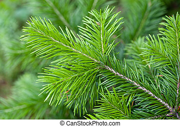 Branch of pine - The branch of pine needles from a close-up