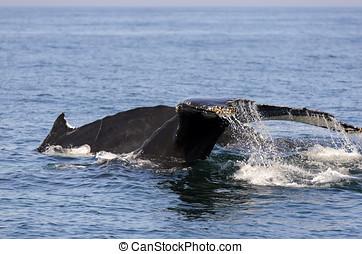 Humpback Whale - Humpback whale (Megaptera novaeangliae) in...