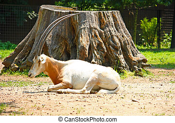 Scimitar oryx - Scimitar horned oryx Oryx dammah lying in...