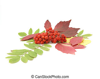 Red rowanberry and autumn leaves over white