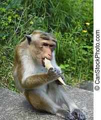 Monkey eating ice-ream