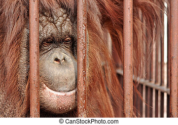 Orang-utan in the zoo - Close up portrait of an orang-utan...