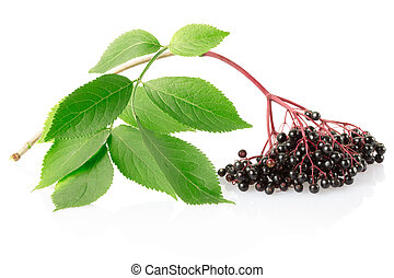Elderberry, sambucus nigra branch isolated on white,...