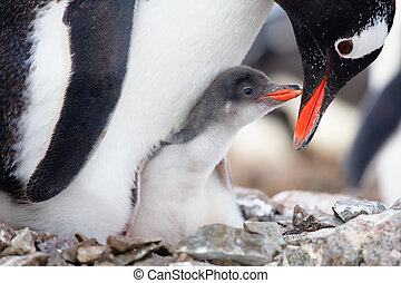 penguins nest - penguin in its nest to protect her cub....