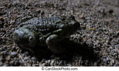 night toad hops fast - My camera follows a toad close up as...