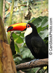 Tucan - A Tucan sitting on a branch of a tree