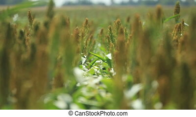 crops rack focus - Rack focus shot of some crops in Southern...