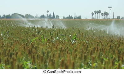 watering crops - Wide shot of crops being watered
