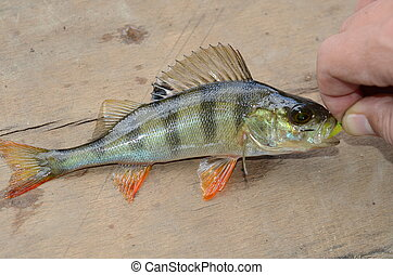 perch on fishing - The caught perch with a bait