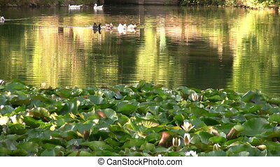 Beatiful lake with water lilies and ducks