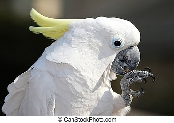 Sulphur Crested Cockatoo bird holding and eating a nut