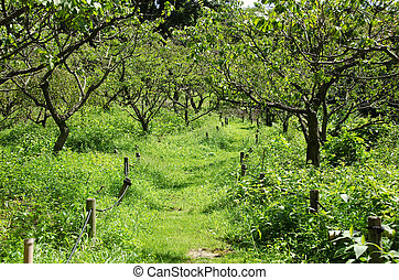 Plum orchard - Japanese plum orchard in summer with grass on...