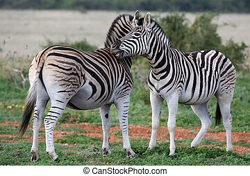 Burchells or Plains Zebra - Burchells or Plains zebras...