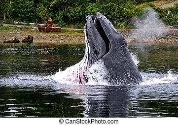 Humpback Whale feeding in Whiskey Cove