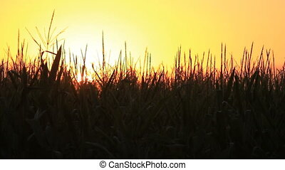 BKG-0071 cornfield sunset - A golden silhouette of a...