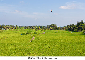 paddy fields - Women wearing umbrella hats working in paddy...
