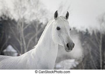white arabian in winter