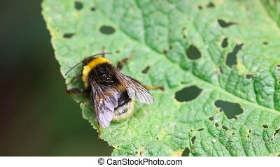 Bumblebee. - Bumblebee resting on a leaf.