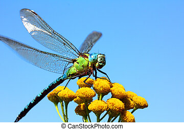 dragonfly on yellow flower macro - dragonfly sitting on...