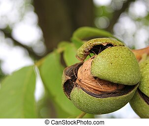 ripe walnut - a closeup shot of a ripe walnut on tree