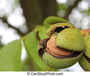 ripe walnut - a closeup shot of a ripe walnut on tree