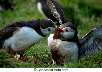 Fighting Puffins - Fighting puffins