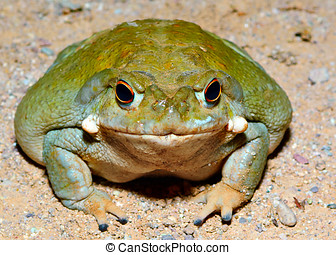 Sonoran Desert Toad - The giant Sonoran Desert Toad. This...