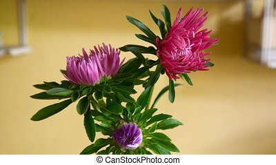 Asters - Aster flowers blossom Timelapse, HDR