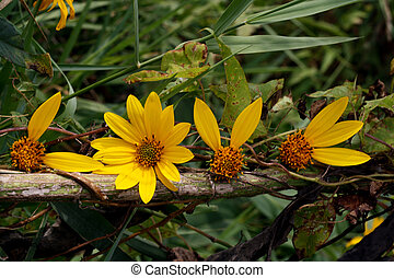 petals love vine - sunflowers on a vine with petals that...