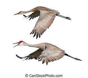florida birds - Two Sandhill Cranes, in flight, isolated on...