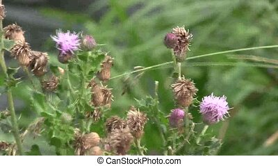 Thistles blowing in the wind.