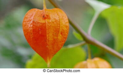 Chinese lantern lily (Physalis alke - Physalis, brightest...