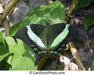 Emerald swallowtail - Kingdom:Animalia Phylum:Arthropoda...