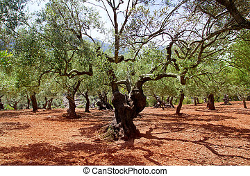 Olive trees from Majorca with red clay soil