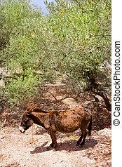 burro, mula, S, Mediterráneo, aceituna, árbol,...