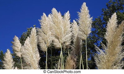 reed with blue sky - reeds waving in the blue sky, shoot...