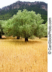 Agriculture from mediterranean Majorca wheat with olive