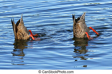 Bottoms Up - Pair of ducks take a dip under the water.