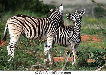 Young Wild Zebras - Two young plains or Burchells zebras...