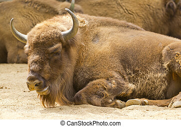 European Bison - European bison in a zoo in Barcelona