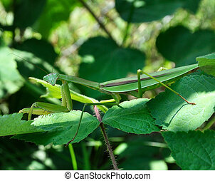 Praying Mantis on leaves, close up