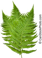 Ferns - ferns branch isolated on white