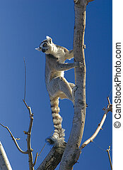 nice lemur - a nice view of a lemur