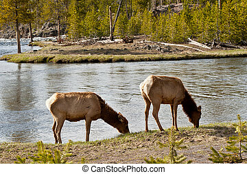 Deers at Yellowstone National Park - Two deers feeding at...