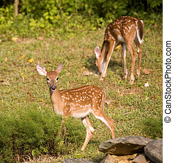 Twin stroll - Pair of whitetail deer fawns still in spots...