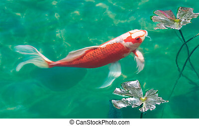 Koi Pond - A koi karp swimming near the surface of a fish...