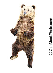 Bear - Brown bear standing  isolated on white background