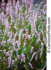 Heather blooming closeup in september, vertical view